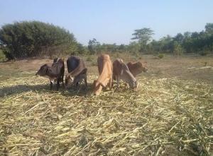 Cows 5 Zambia
